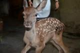 Kastamonu'da Belediye Başkanı'nın bulduğu kızıl geyik yavrusu korumaya alındı