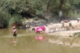 Denizli'de 848 yıllık 'Sudan Koyun Geçirme' yarışması bu yıl da gerçekleştirildi